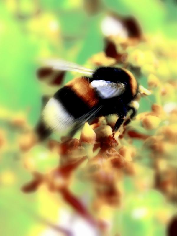 Pracowita Pszczoła I Z Gorzkiego Ziela Miód Zbiera Zdjęcie